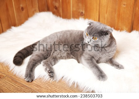 British short hair cat lying on fur rug on wooden background