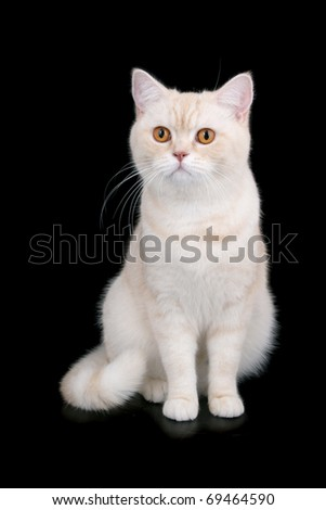 British Short Hair cat on black - stock photo
