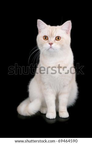 British Short Hair cat on black - stock photo