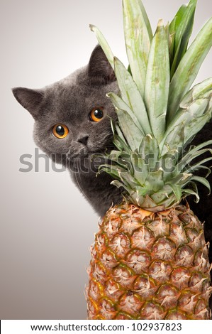 british short hair cat with pineapple on grey background