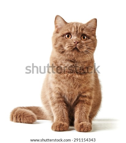 British short hair kitten isolated on a white background