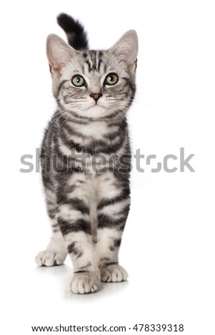 British short hair kitten isolated on white