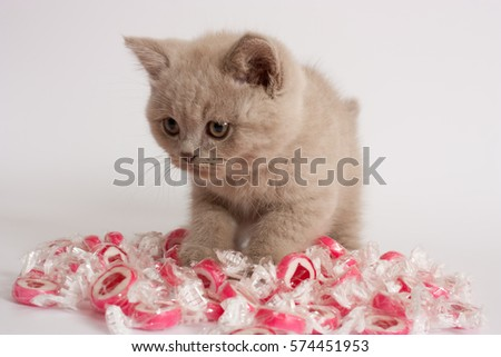British short hair kitten, lilac color, whit candy heart