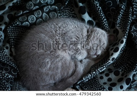 British short-hair kitten sleeps in his soft cozy bed