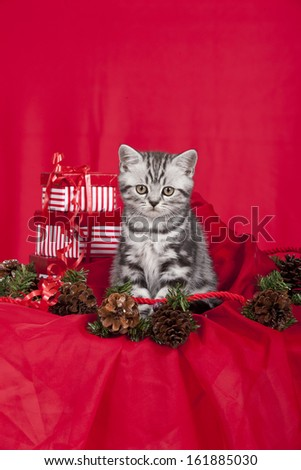 British short hair kitten with christmas decorations