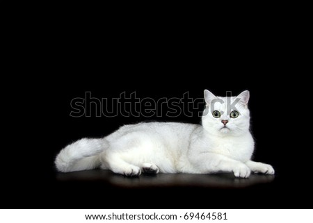 British Short Hair tipped cat