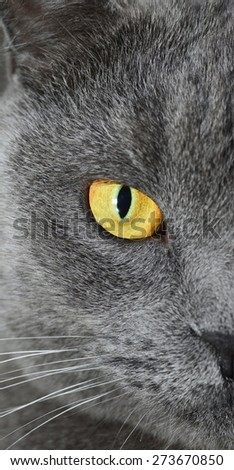 "British shorthair cat ""half face portrait"" (British Blue cat) - domesticated cat whose features make it a popular breed in cat shows. - stock photo"