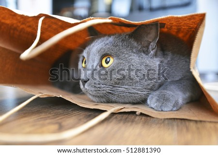 British shorthair cat in a paper bag