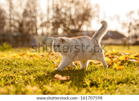 British shorthair cat in autumn - stock photo
