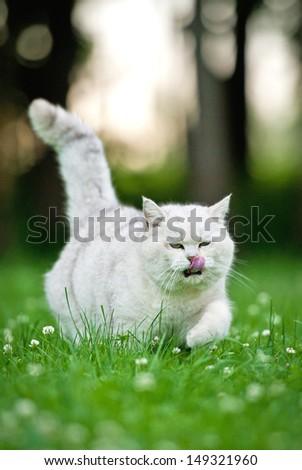 British shorthair cat licking - stock photo