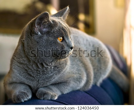 British shorthair cat looking on the couch - stock photo