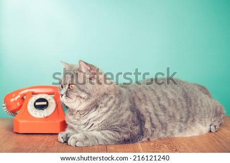 British Shorthair cat near retro orange rotary telephone front mint green background - stock photo