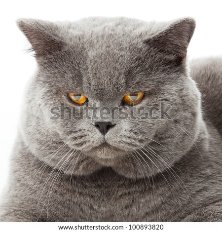 British shorthair cat on a white background.  british cat isolated - stock photo