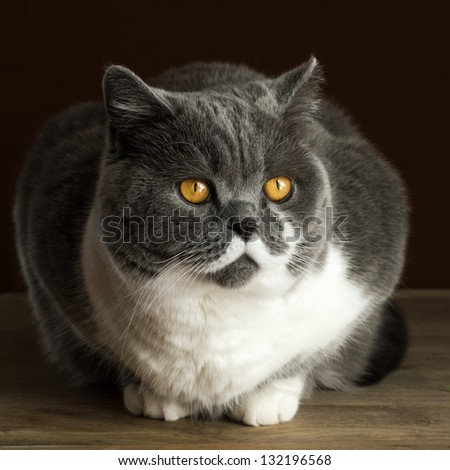 British Shorthair Cat on the Table