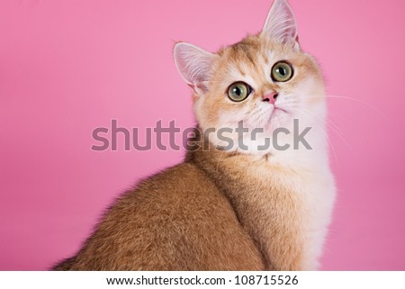 British shorthair cat portrait. isolated on pink
