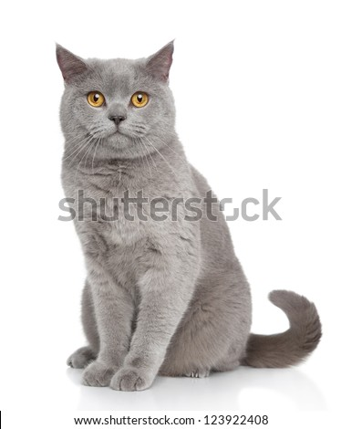 British Shorthair cat portrait on a white background - stock photo