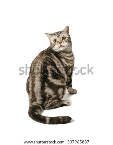 British Shorthair cat sitting. Cat surprised is lightweight fear. Object isolated on white background with shadow.
