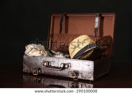 British Shorthair Cat / The cat is sitting in a suitcase - stock photo