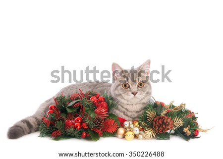 British shorthair cat with Christmas decorations, isolated on white with room for text. Cat looking at camera.