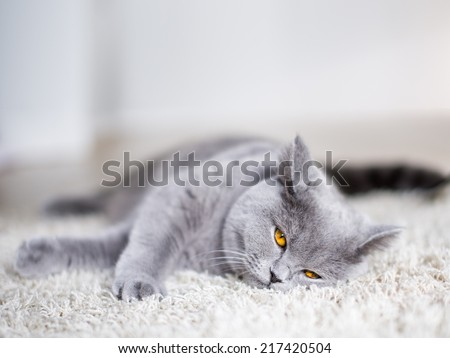 British shorthair. Good morning? British shorthar kitten laying on the floor. cat staring with yellow eyes. Grey cat at home. light background. - stock photo
