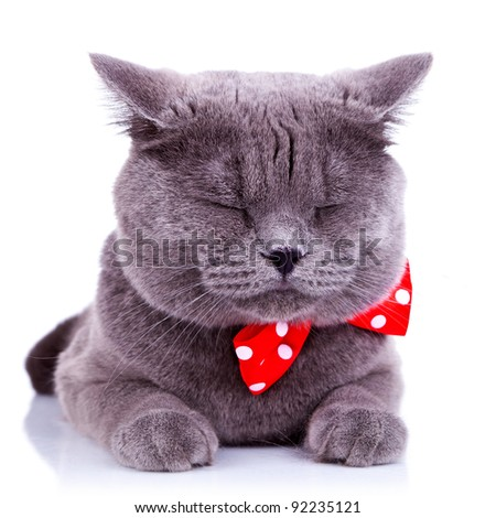 British shorthair grey cat sleeping on white background - stock photo