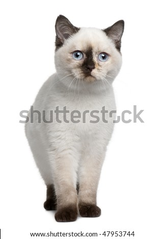 British Shorthair kitten (4 months old) in front of a white background