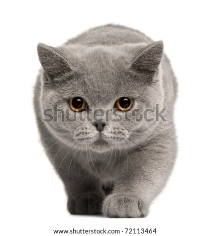 British Shorthair kitten, 4 months old, in front of white background - stock photo
