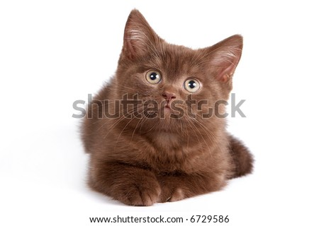 British Shorthair kitten on white background.