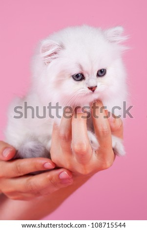 British shorthair kitten sitting on the hand. isolated on pink