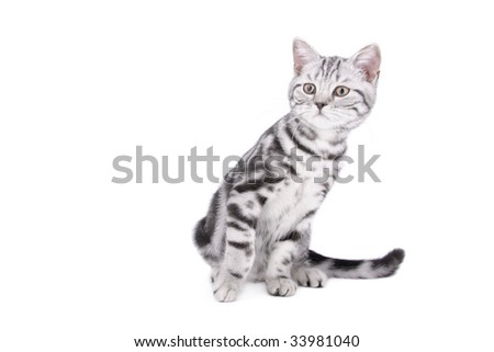 British Shorthair kitten sitting on white background - stock photo