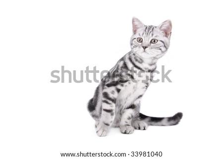 British Shorthair kitten sitting on white background - stock photo