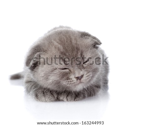 british shorthair kitten sleeping. isolated on white background