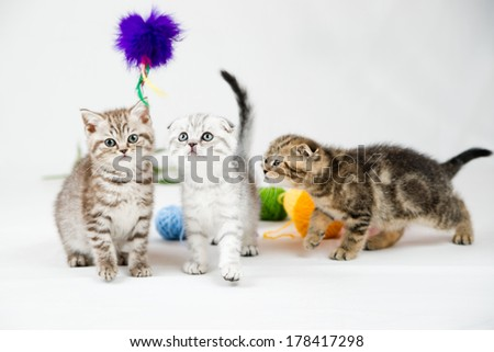 British Shorthair kittens on white background - stock photo