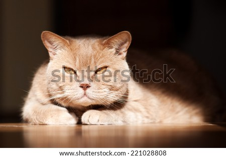 British shorthair tomcat lying on floor