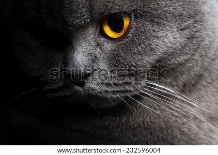 British shorthar face close up. Half of the face in the shadow. characteristic portrait of a cat. - stock photo