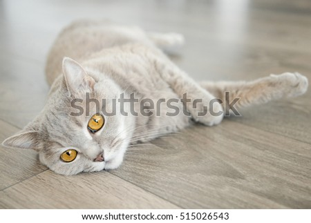 British shorthar kitten laying on the floor, grey cat with yellow eyes at home