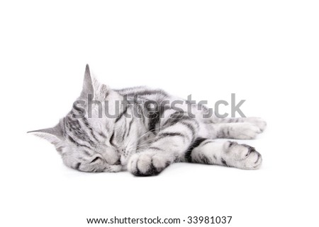 British Shorthar kitten on white background
