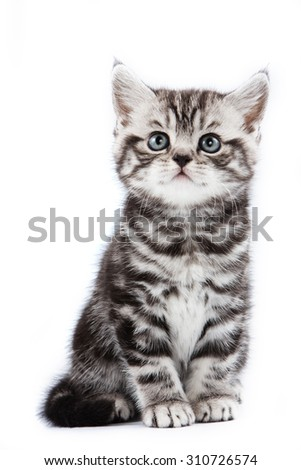 British striped gray kitten (isolated on white) - stock photo