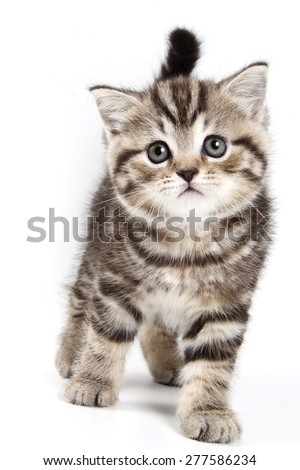 British tabby kitten isolated on white