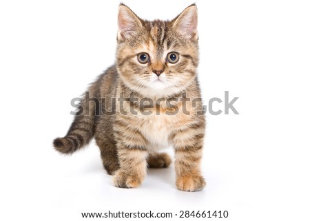 British tabby kitten standing and looking at the camera (isolated on white) - stock photo
