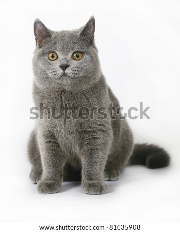 Britishcat on white background - stock photo