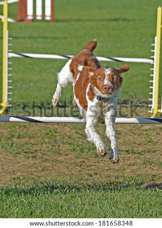 Brittany Spaniel Dog Jumping Over Agility Fence - stock photo