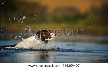 Brittany Spaniel dog swimming in the lake