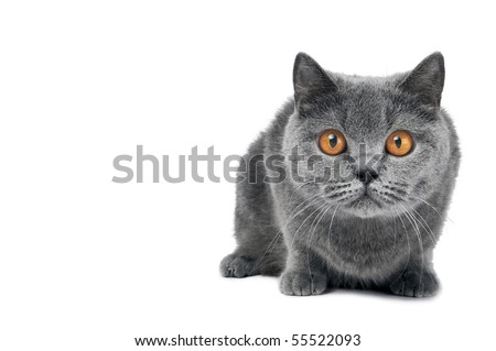 Brittish shorthair grey cat with big wide open orange eyes isolated - stock photo