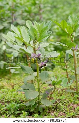 broad bean blooming - stock photo