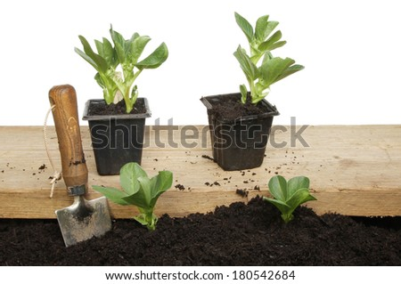 Broad bean seedling plants in soil and on a wooden board for planting