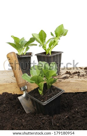 Broad bean seedlings in pots on a wooden board and on the soil