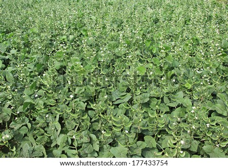 Broad beans are among the most ancient in cultivation and easiest to grow. They are rich in proteins and fibers. They are also grown as cover crop to prevent erosion. - stock photo