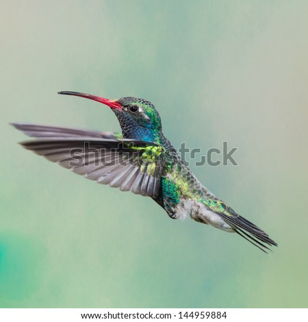 Broad billed Hummingbird - stock photo