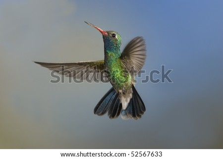 Broad-billed Hummingbird, (Cynanthus latirostris), Madera Canyon, Arizona